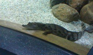 Москвариум - крокодил