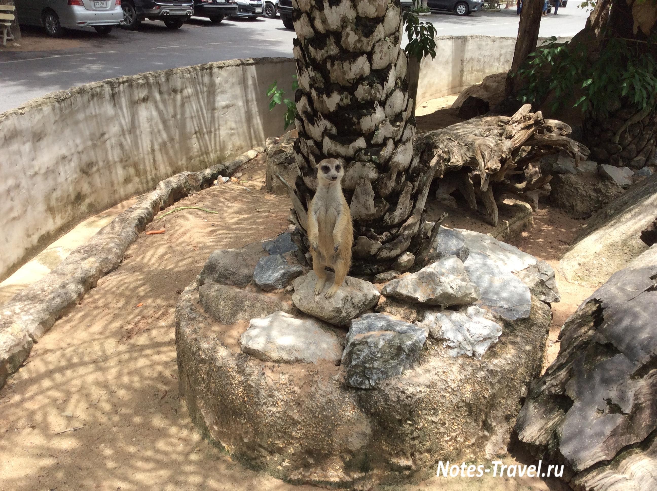 Сурикат - зоопарк Кхао Кхео (Таиланд)